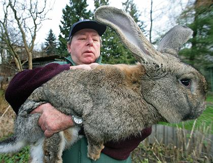 German rabbit
